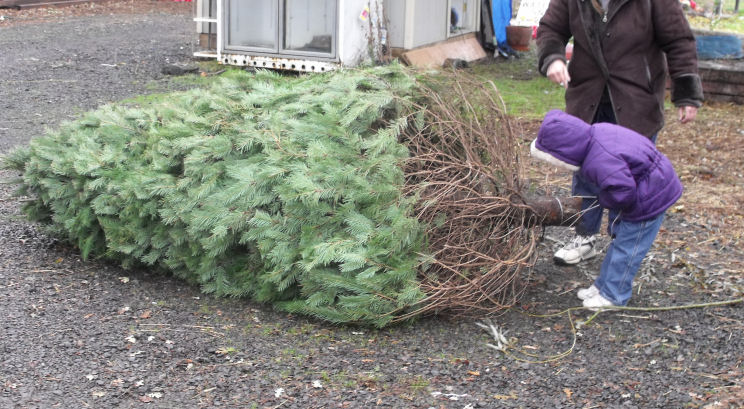 christmas tree sales - Christmas Trees Sale